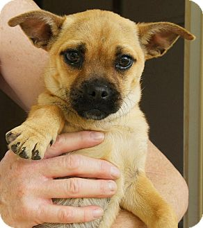 French Bulldog/Pug Mix Puppy for adoption in Westport, Connecticut - *Edie - PENDING