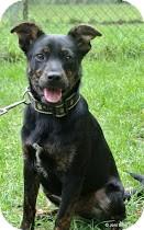 Feist/Fox Terrier (Smooth) Mix Puppy for adoption in Groton, Massachusetts - Seemi