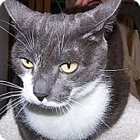 Domestic Shorthair Cat for adoption in Los Angeles, California - Champ