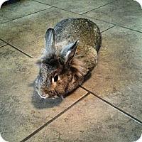 Adopt A Pet :: Fluffernutter - Little Rock, AR