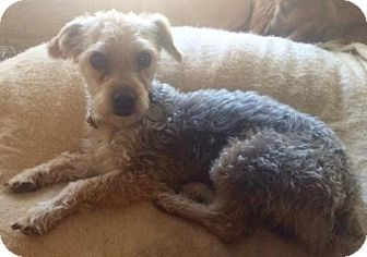 Yorkie, Yorkshire Terrier/Poodle (Miniature) Mix Dog for adoption in Rochester, Michigan - Bobby