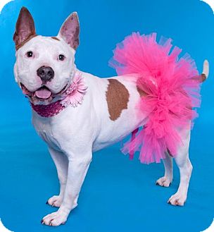 American Staffordshire Terrier/Pit Bull Terrier Mix Dog for adoption in Chicago, Illinois - China