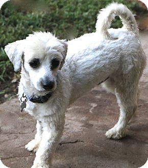 Maltese/Havanese Mix Dog for adoption in Woonsocket, Rhode Island - Chilton - MEET ME