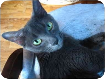 Domestic Shorthair Kitten for adoption in Bristol, Rhode Island - Gray kitten