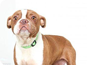 Boston Terrier Dog for adoption in Edina, Minnesota - Adelaide D170357: NO LONGER ACCEPTING APPLICATIONS