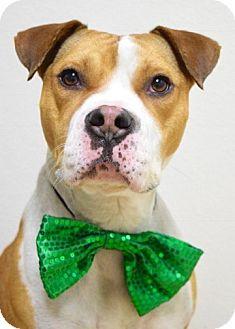 Pit Bull Terrier/Boxer Mix Dog for adoption in Dublin, California - Donner