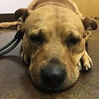 American Pit Bull Terrier/Labrador Retriever Mix Dog for adoption in Cameron, North Carolina - Kilo