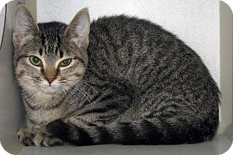 Domestic Shorthair Kitten for adoption in Ruidoso, New Mexico - Willa