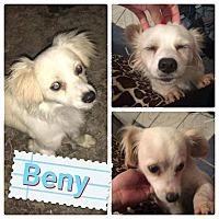 Adopt A Pet :: Beny - LAKEWOOD, CA