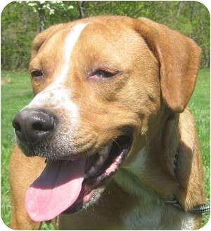 Boxer/Shar Pei Mix Dog for adoption in Hillsboro, Ohio - Jasper