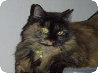 Domestic Longhair Cat for adoption in Coral Springs, Florida - Sienna