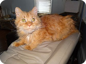 Domestic Longhair Cat for adoption in Riverhead, New York - Apricot