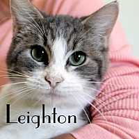 Domestic Shorthair Cat for adoption in Wichita Falls, Texas - Leighton