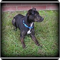 Adopt A Pet :: Bob - Indian Trail, NC
