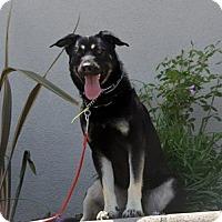 Labrador Retriever/Rottweiler Mix Dog for adoption in Mira Loma, California - Sam