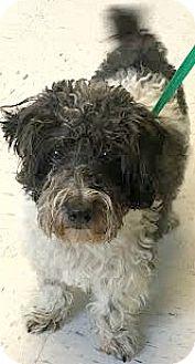 Poodle (Miniature)/Maltese Mix Dog for adoption in Boulder, Colorado - Freud-ADOPTION PENDING