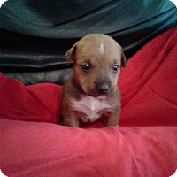 Adopt A Pet :: MEENIE - Hollywood, FL