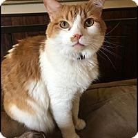 Domestic Mediumhair Cat for adoption in Colorado Springs, Colorado - Tiger