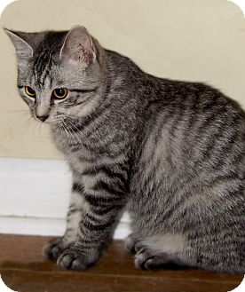 Domestic Shorthair Kitten for adoption in McEwen, Tennessee - Sydney
