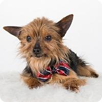 Adopt A Pet :: Dino - St. Louis Park, MN
