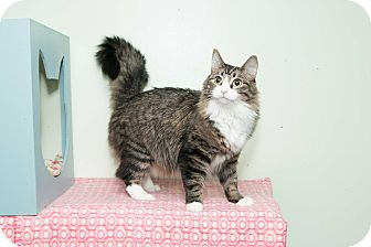 Maine Coon Cat for adoption in Chicago, Illinois - Angel