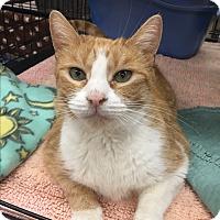 Adopt A Pet :: Angel Pie - Blasdell, NY