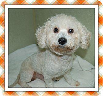 Bichon Frise Dog for adoption in Tulsa, Oklahoma - Adopted!! Kismet - S TX