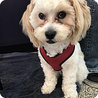 Adopt A Pet :: Pearl - Thousand Oaks, CA