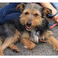 Adopt A Pet :: Scamp - Poway, CA