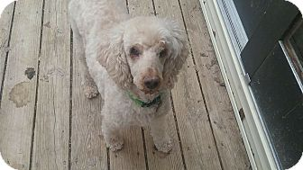 Poodle (Miniature) Mix Dog for adoption in Winchester, Virginia - Cosmo