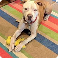 Adopt A Pet :: Capone - Billings, MT