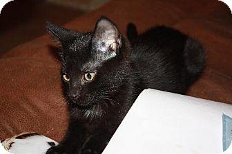 Domestic Shorthair Cat for adoption in Cypress, Texas - Merlot