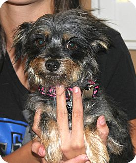 Yorkie, Yorkshire Terrier/Terrier (Unknown Type, Small) Mix Dog for adoption in Temecula, California - Hope