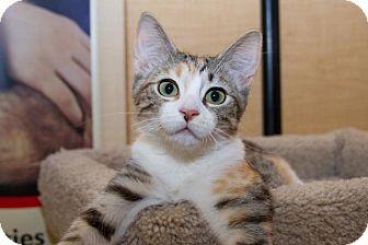 Domestic Shorthair Kitten for adoption in Irvine, California - Butterscotch