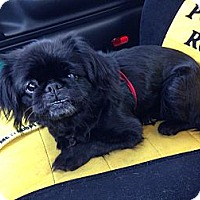 Adopt A Pet :: Pearl - Portland, ME