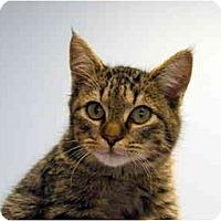 Adopt A Pet :: Acorn - Modesto, CA