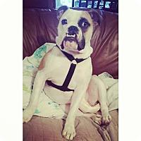 Adopt A Pet :: Winston - Decatur, IL