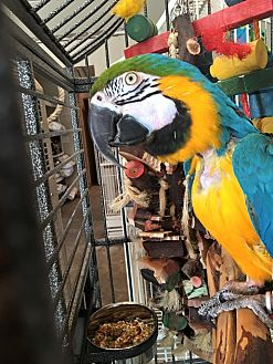Macaw for adoption in Blairstown, New Jersey - Newman - blue and gold