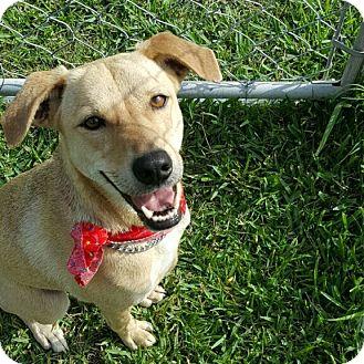 Labrador Retriever/Terrier (Unknown Type, Medium) Mix Dog for adoption in San Leon, Texas - Minnie