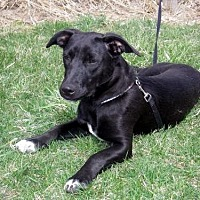 Labrador Retriever Mix Dog for adoption in Lacon, Illinois - Dexter