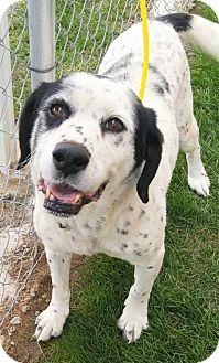 Border Collie/Springer Spaniel Mix Dog for adoption in Fruit Heights, Utah - Tink