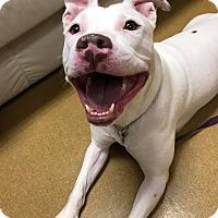 Adopt A Pet :: Guerra - Maryville, MO