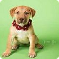 Adopt A Pet :: Pooh Bear - Mt. Clemens, MI