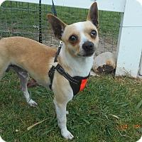 Adopt A Pet :: nitro - haslet, TX