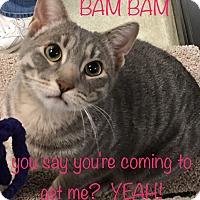 Adopt A Pet :: Bam Bam - El Dorado Hills, CA