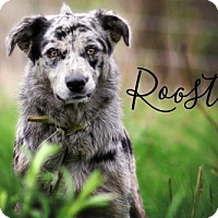 Adopt A Pet :: Rooster - Joliet, IL