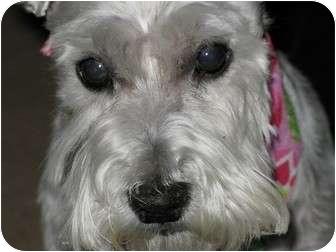 Miniature Schnauzer Dog for adoption in Madison, Wisconsin - Watson
