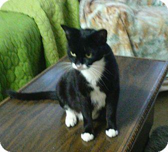 Domestic Shorthair Cat for adoption in Orlando, Florida - Savannah
