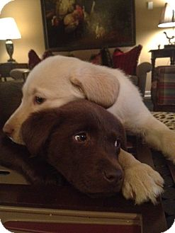 Labrador Retriever Mix Puppy for adoption in Brattleboro, Vermont - Holly Pup
