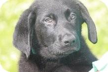 Labrador Retriever Mix Puppy for adoption in Russellville, Kentucky - Calvin